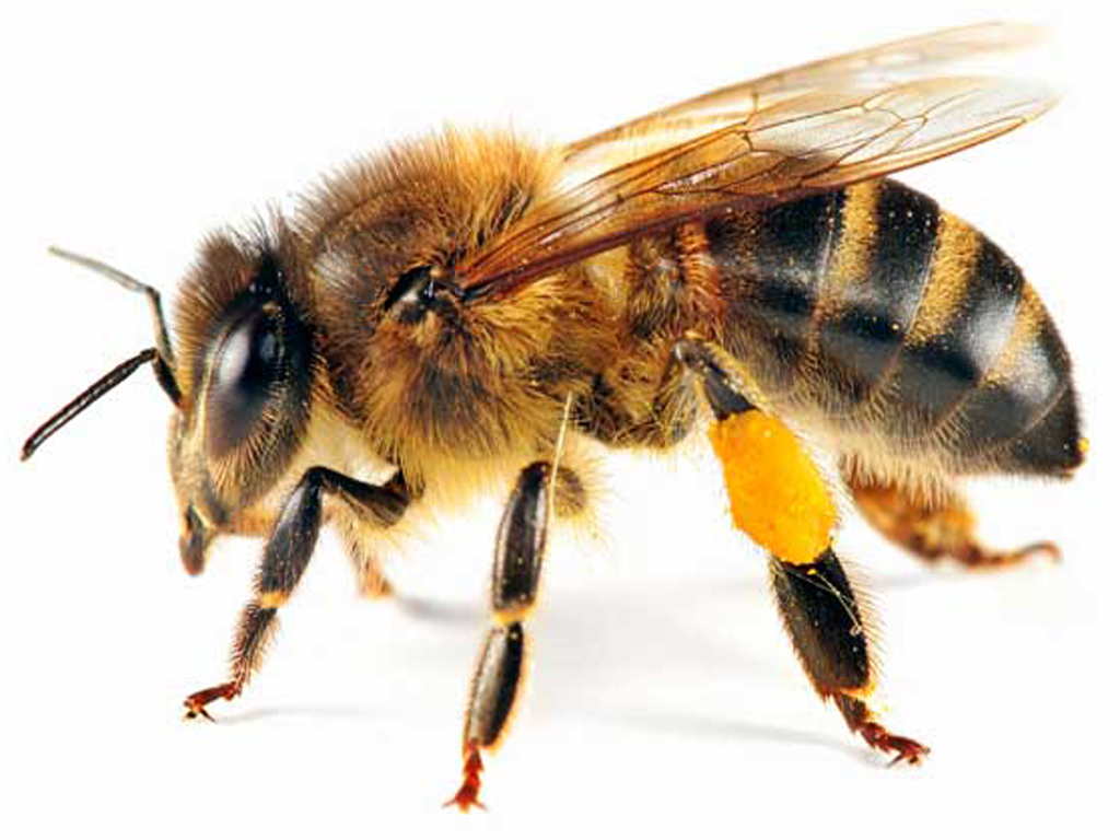 Bee PNG - 9121