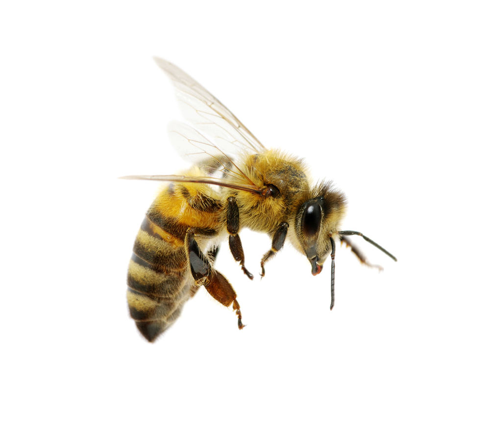 Bee PNG - 9122