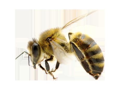 Bee PNG - 9126