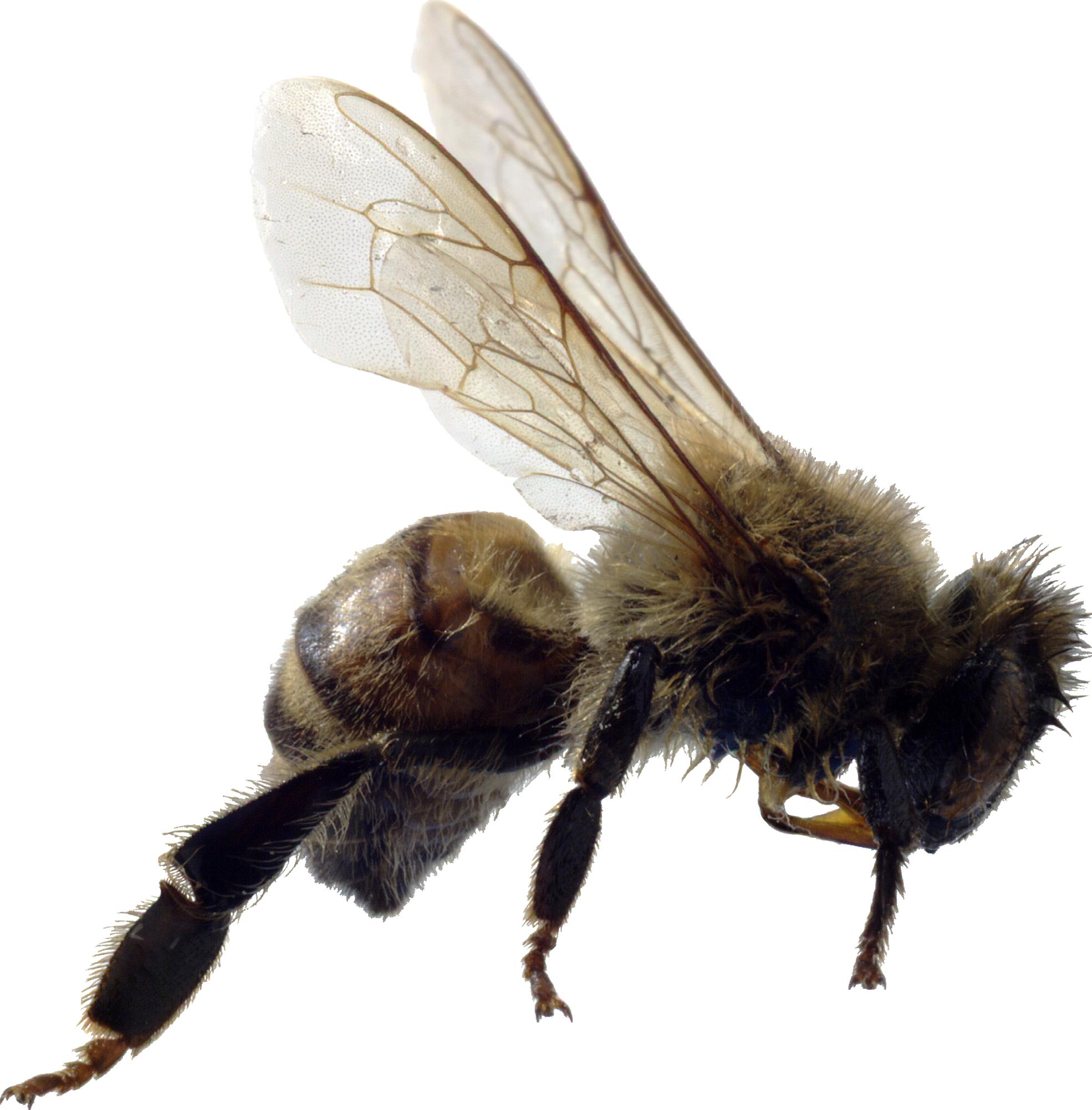 Bee PNG - 9133