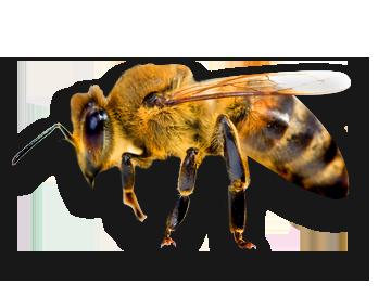 Bee PNG - 9114