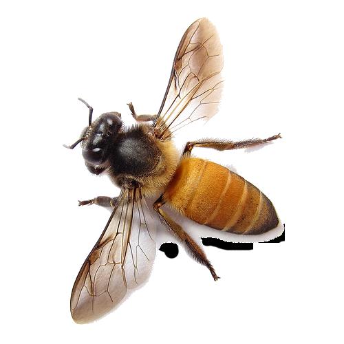 Bee PNG - 9115