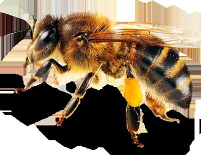 Bee PNG - 9119