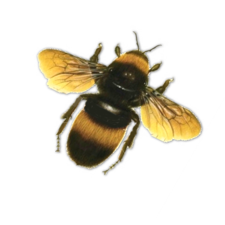 Bee PNG - 9129