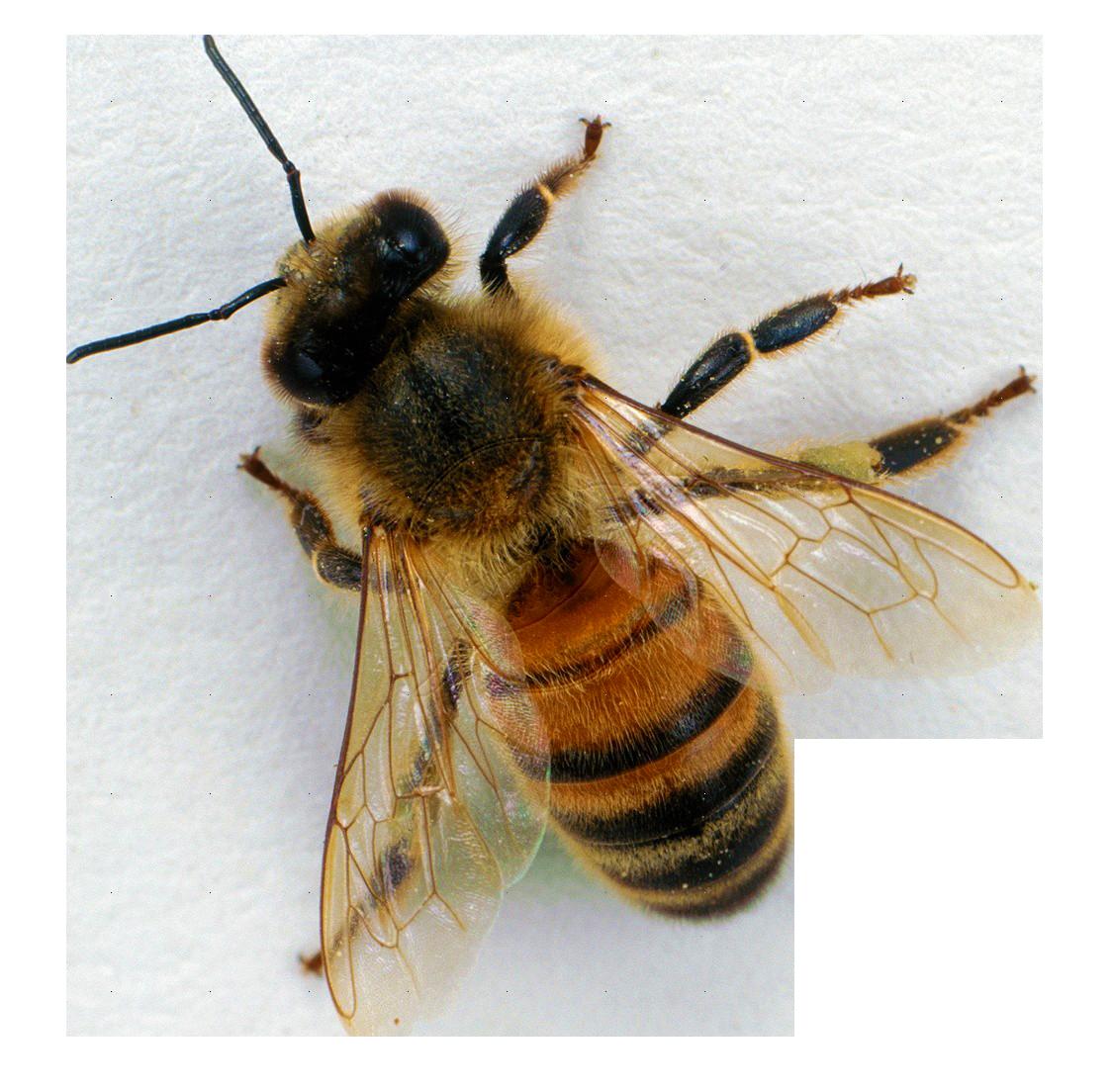 Bee PNG - 9130