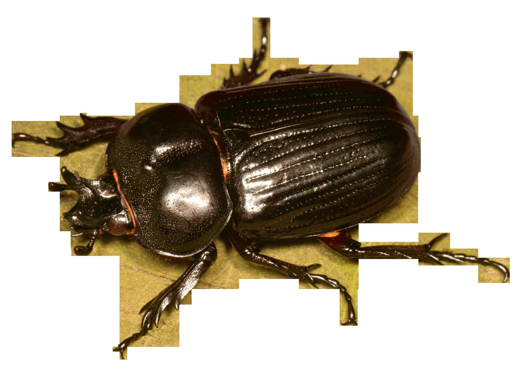 Beetle Bug PNG Transparent Image - BeeBeetle PNG