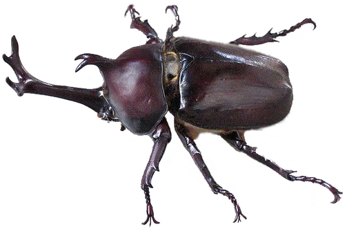 File:Kabutomushi Japanese Beetle (modified).png - BeeBeetle PNG