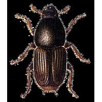 Similar Beetle PNG Image - BeeBeetle PNG
