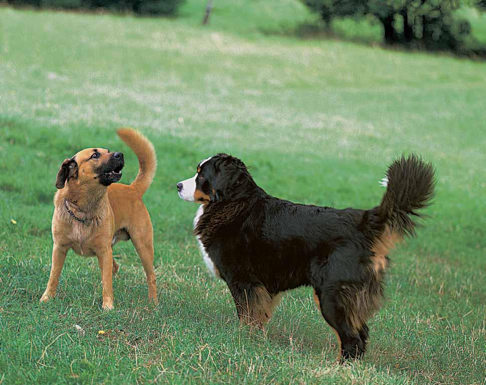 Bellen Bellen wird in den unterschiedlichsten Situationen eingesetzt. Daher  denken viele, dass das Bellen - Bellender Hund PNG