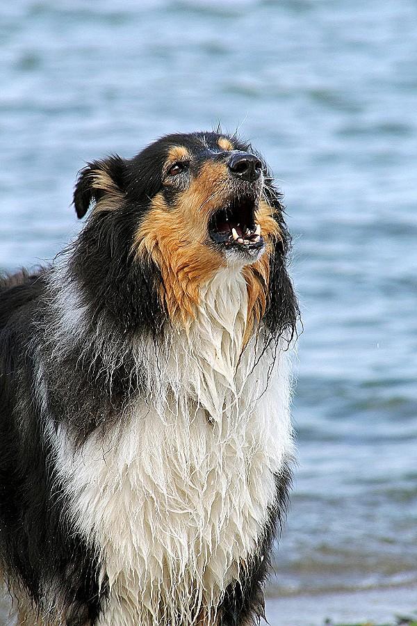 . PlusPng.com Hund Bellt Im Garten Unique Bellen Wie Man übermässiges Hundebellen  Abgewöhnt Und Richtig Hi-Res PlusPng.com  - Bellender Hund PNG