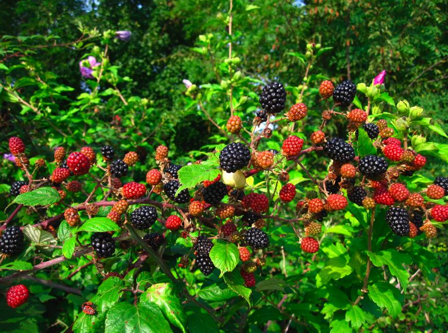 Berry Bush PNG Transparent Berry Bush PNG Images  | PlusPNG