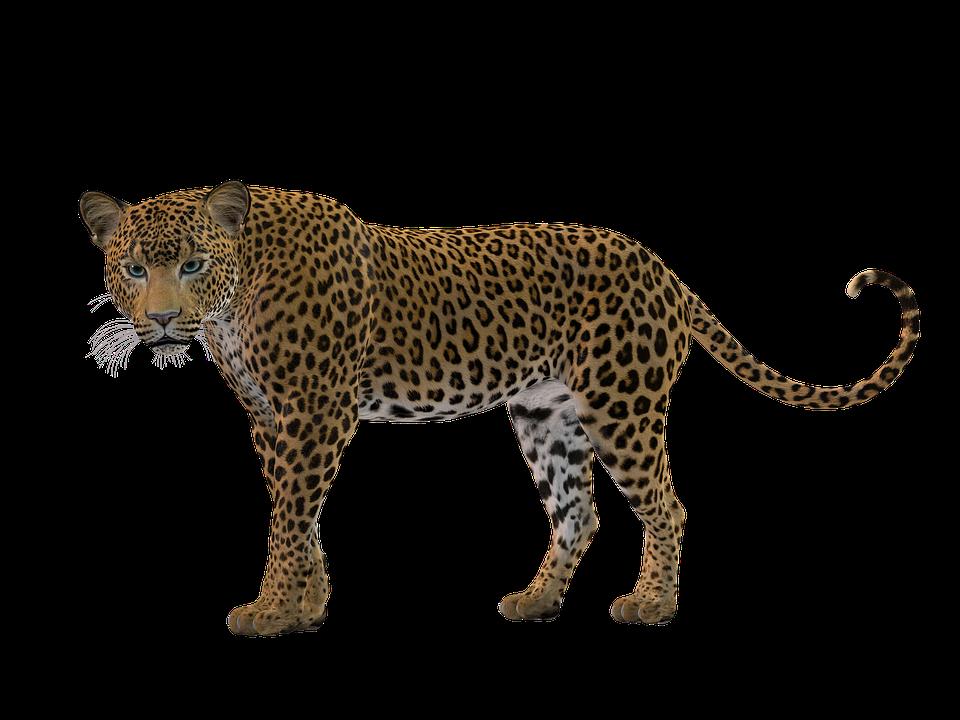 Big Cat PNG - 144233