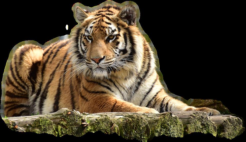 bengaltiger tiger big cat dangerous predator cat - Big Cat PNG