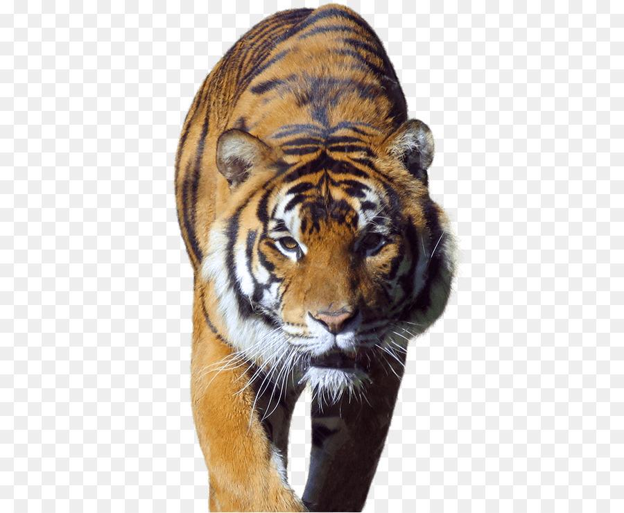 Black tiger Whiskers Big cat Deer - encounter - Big Cat PNG