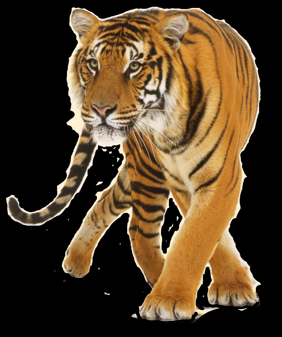 Big Cat PNG - 144231