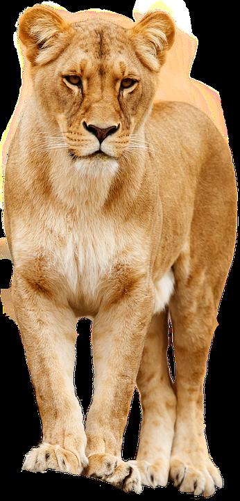 lion cat predator big cat pride lion females - Big Cat PNG