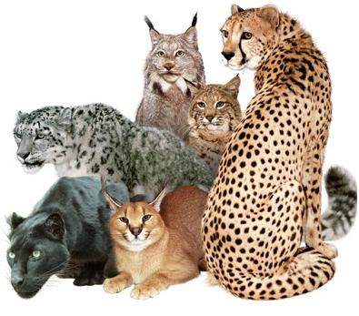 Big Cat PNG - 144240