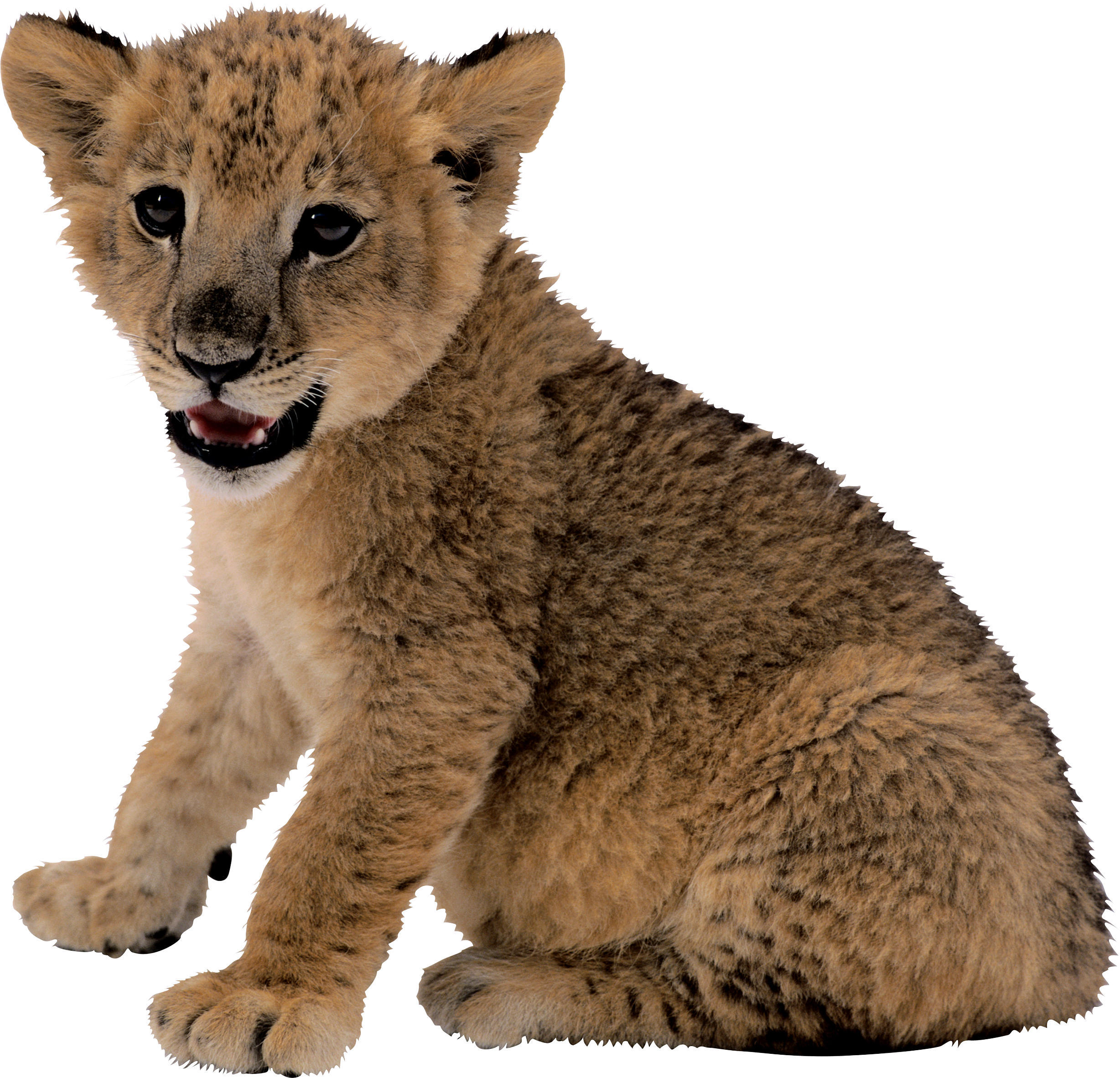 small lion PNG image - Big Cat PNG