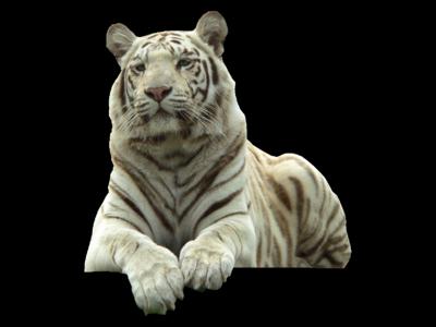 White Tiger Png Pic - Big Cat PNG