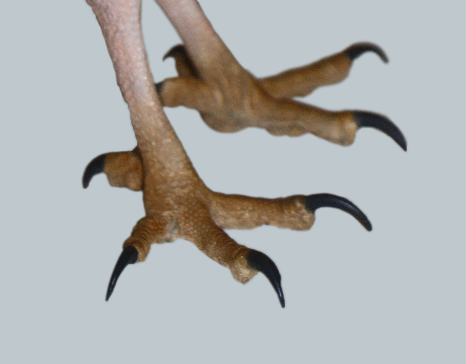 File:Wendezehe.png - Bird Claw PNG