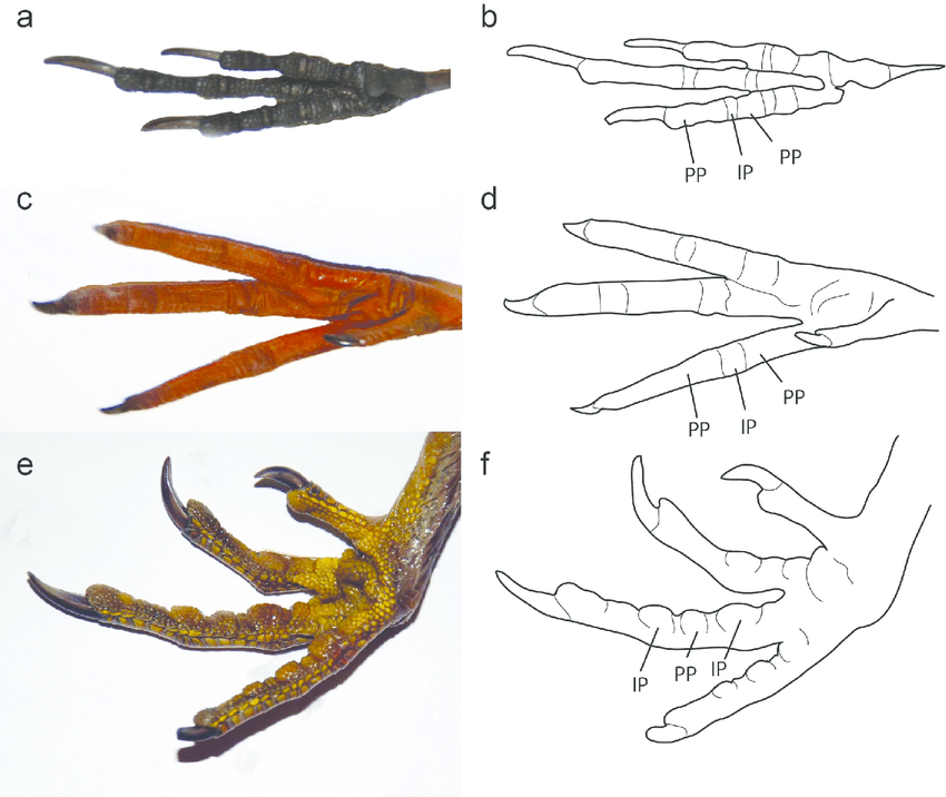 Examples of modern bird foot morphology. Photographs and line drawing of  the feet of a - Bird Foot PNG