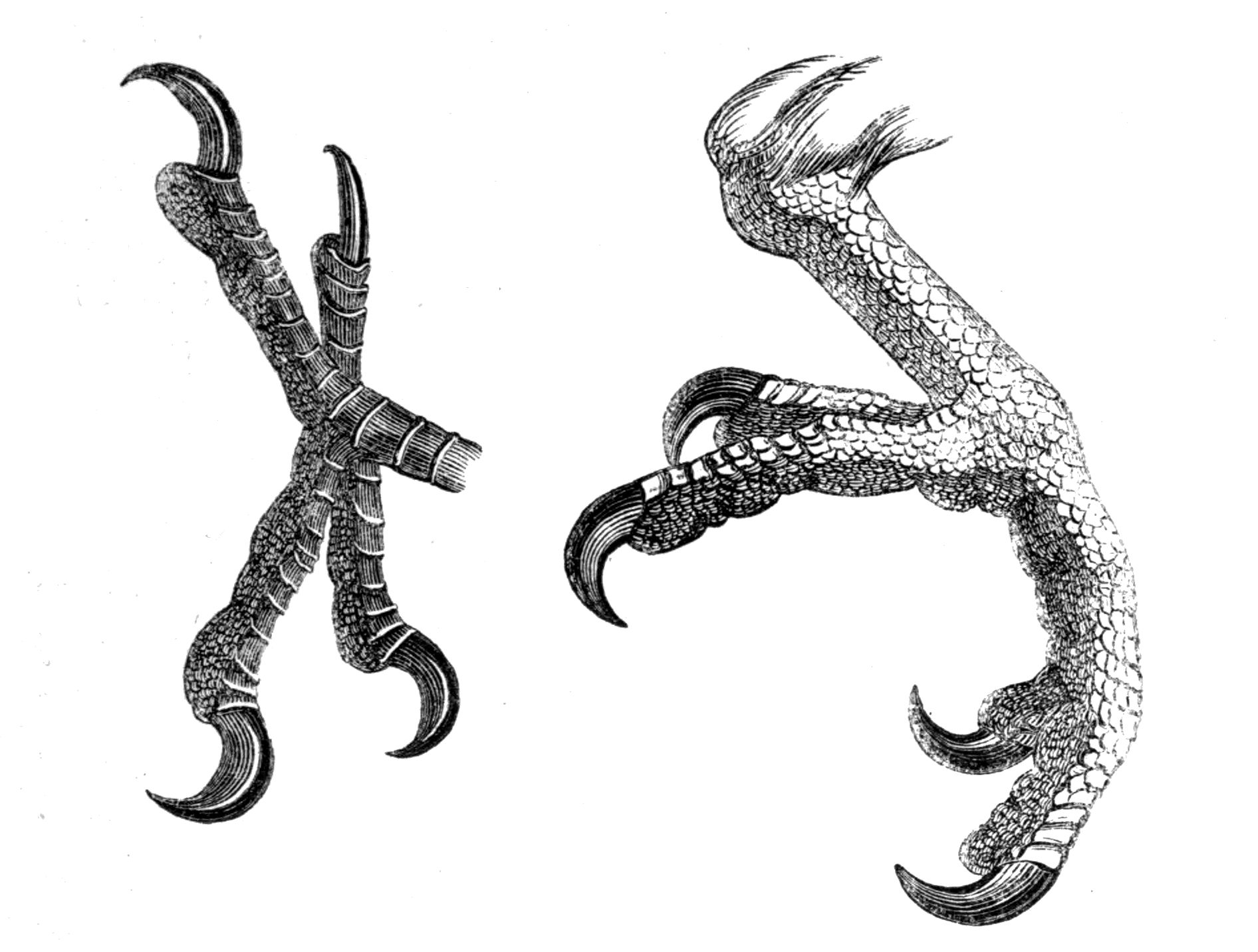 Modern bird feet, by Philip Henry Gosse, 1849, public domain. Note  overlapping scutes on the top surfaces, and pebbly, polygonal reticulae on  the bottom PlusPng.com  - Bird Foot PNG