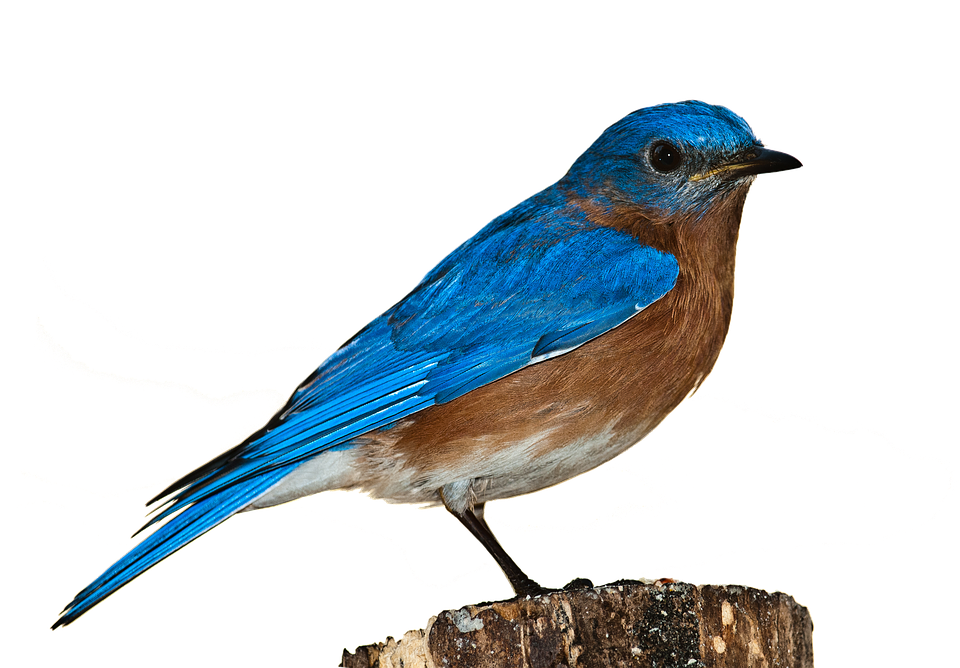 bird bluebird bird png nature perched isolated - Bird HD PNG