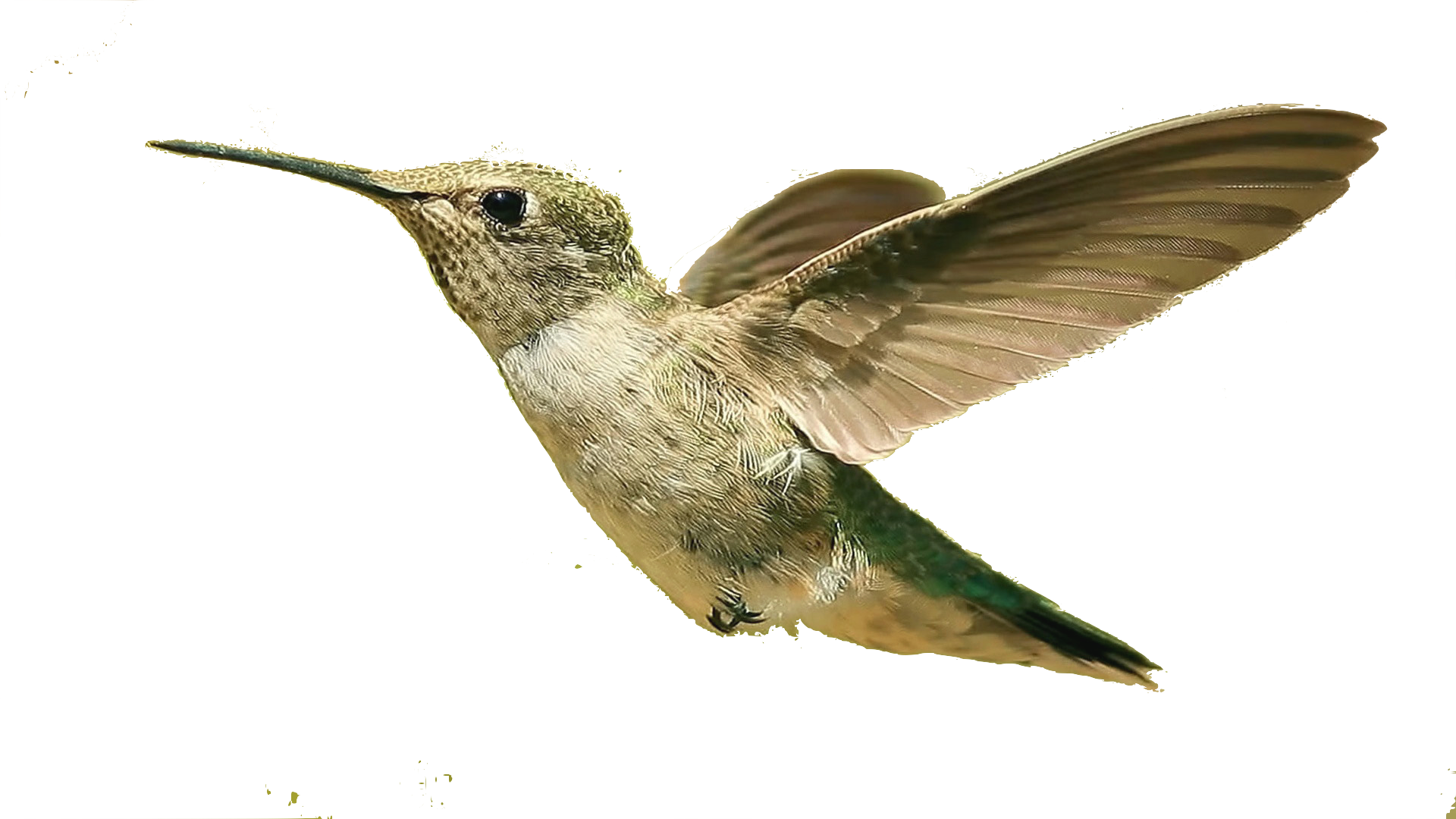 Bird HD PNG - 96793