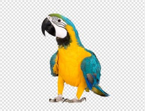 Parrot PNG image - Bird HD PNG