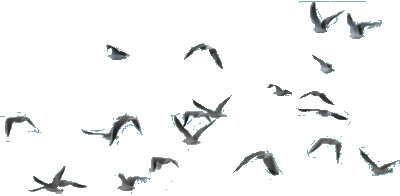 Stock - Flying black Birds -