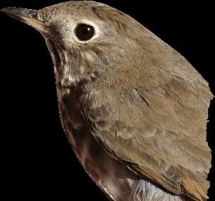 Woodpecker PNG - 1000