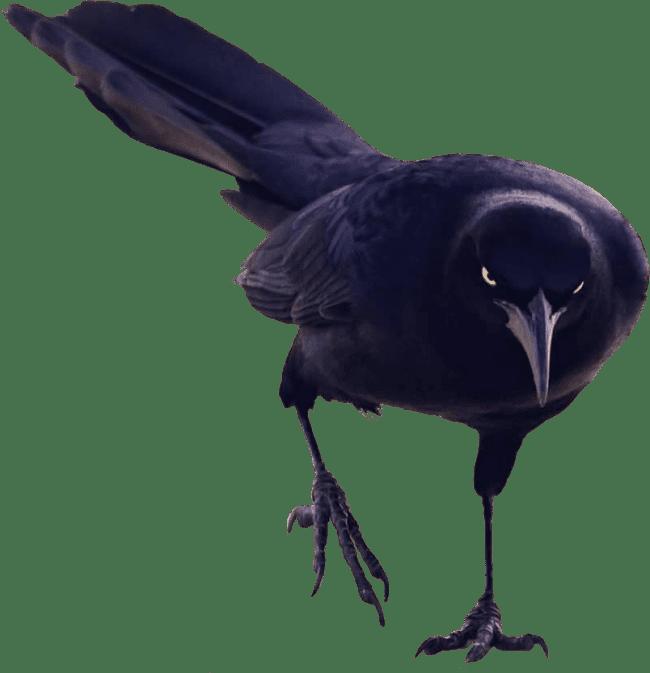 Black Bird Walking - Birds And Fish PNG