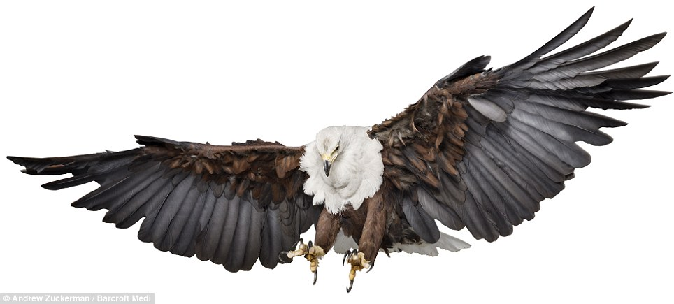 Enlarge Feathered predator: An African Fish Eagle shot on an ultra-powerful  high-definition - Birds And Fish PNG