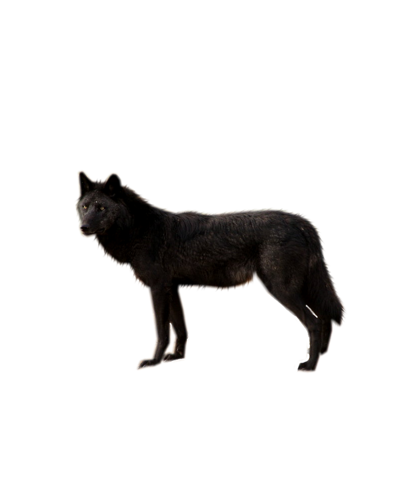 Black Wolf PNG - 163187