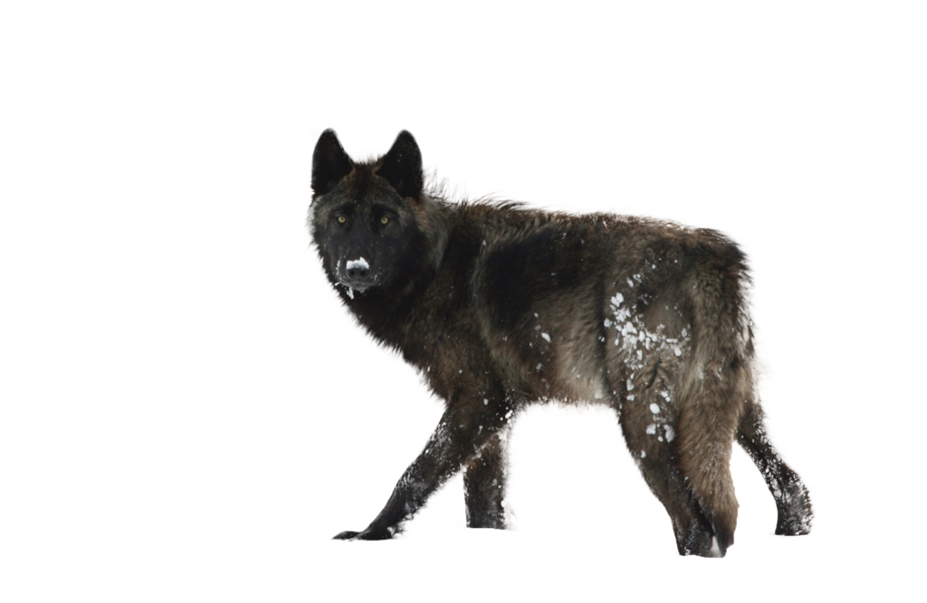 Black Wolf PNG - 163195