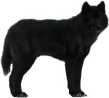 Black Wolf PNG - 163194