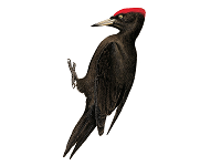 Black Woodpecker (Male) - Woodpecker PNG