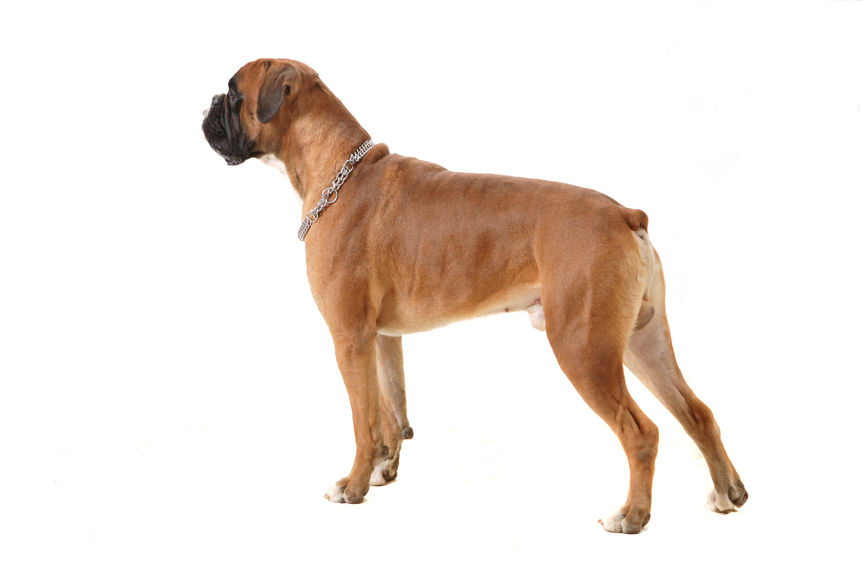 Cartoon Picture Of A Boxer Dog