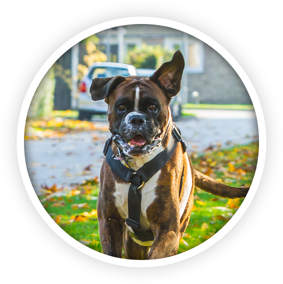 Boxer Hund PNG-PlusPNG.com-578 - Boxer Hund PNG