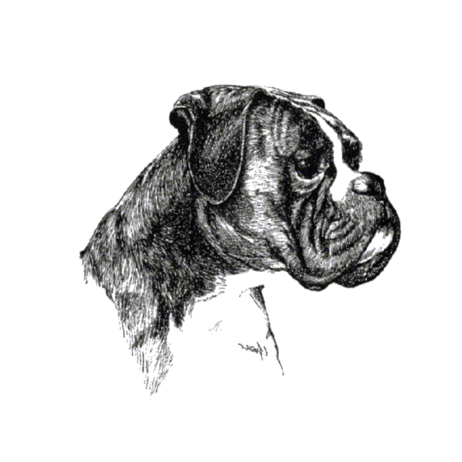 Boxer Hund PNG-PlusPNG.com-669 - Boxer Hund PNG