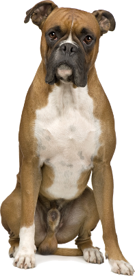 Boxer sitzend von vorne. - Boxer Hund PNG