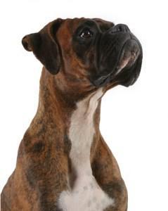 Buy online plavix no prescription - Boxer Hund PNG