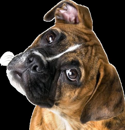 Dog PNG, Dog PNG images, Dog PNG Pictures, Hund PNG Bilder - Boxer Hund PNG