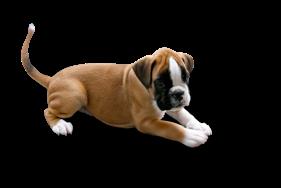 Fujiyama boxer hvalpeu2026 - Boxer Hund PNG