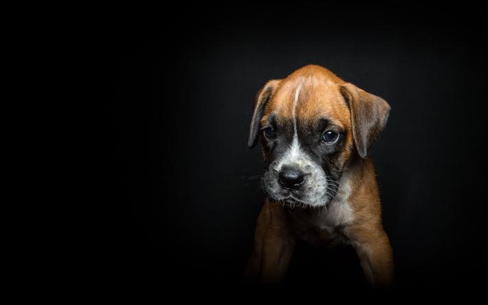 Herunterladen hintergrundbild boxer, hund, klein, welpe, niedlich, tiere,  haustiere, - Boxer Hund PNG