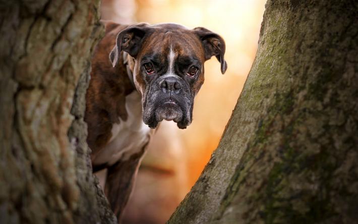 Herunterladen hintergrundbild boxer hund, maulkorb, wald, tiere, herbst,  hunde, boxer besthqwallpapers pluspng.com - Boxer Hund PNG