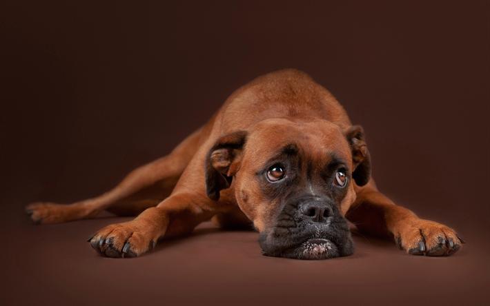 Herunterladen hintergrundbild boxer, kurzhaarige rasse der hund, brauner  hund, haustiere, deutsch hunde - Boxer Hund PNG