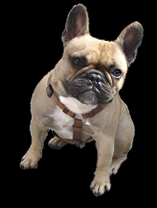 hund boxer tier tierportrait weisser hintergrund - Boxer Hund PNG