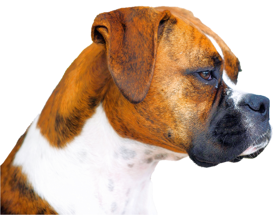 Isolated, Boxer, Dog, Animal Portrait - Boxer Hund PNG