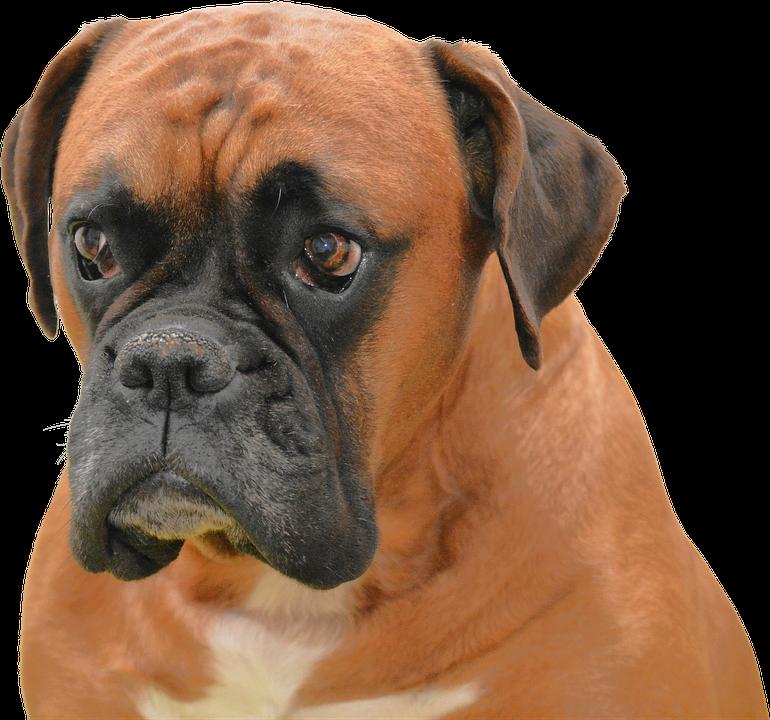 isolerat hund brun sällskapsdjur purebreden djur - Boxer Hund PNG